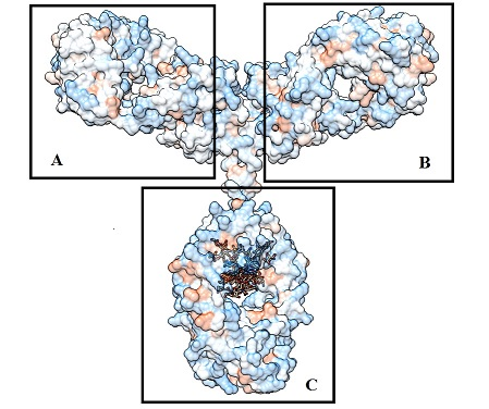 A &  B - These ends bind to antigens.  C - The Fc chain. Trim21 binds to this.