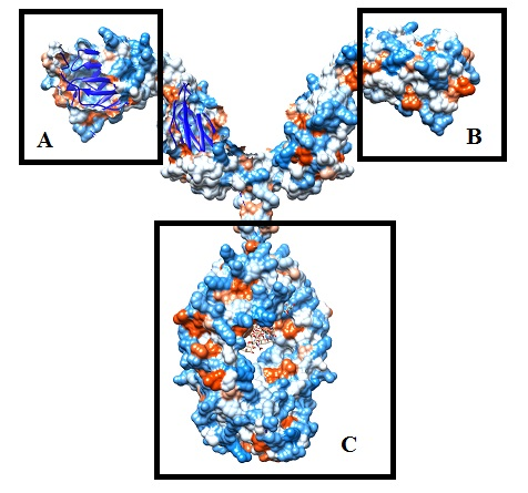 A and B show single chain binding region.  Most antibodies have dual chain binding regions, as shown above.