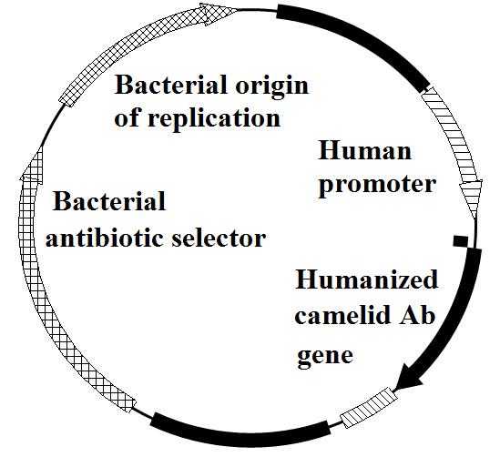 Typical plasmid vector design for delivering camelid antibodies