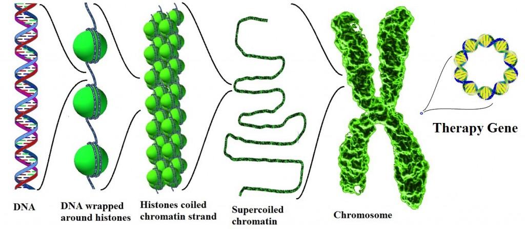 Chromosomes-Genes